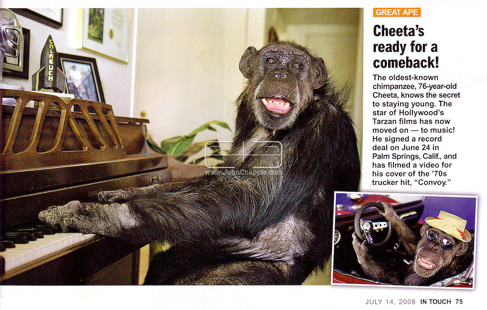 InTouch Magazine (US), 14th July 2008 Page 75..EXCLUSIVE 24th June 2008, Palm Springs, California. 76-year-old Cheeta, star of many Hollywood Tarzan films of the 1930s and 1940s, is coming out of retirement. Recognized as the oldest chimpanzee alive, the Palm Springs resident has just signed a record deal. To celebrate the signing, Cheeta made a promo music video to accompany his cover of the 1975 hit song 'Convoy'. PHOTO &copy; JOHN CHAPPLE / www.johnchapple.com<br /> tel: +1-310-570-9100