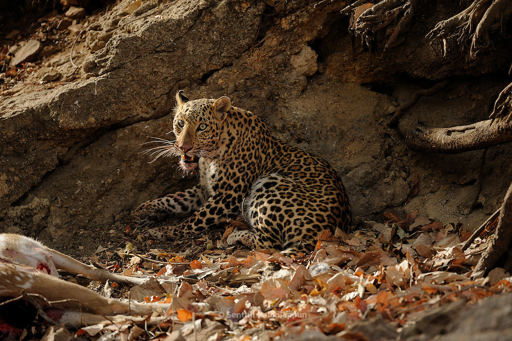 Leopards in India are more difficult to spot as they usually share territory with Tigers. Its resting after a kill in the image.