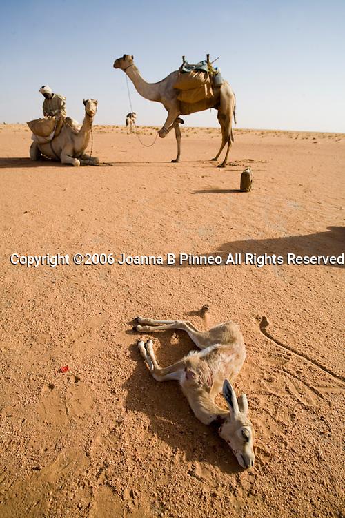 A camel herder kills a small gazelle for dinner on a camel caravan in the Sahara Desert, Sudan.