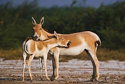 Female Indian wild ass and her unhappy foal ( Asinus hemionus khur )   Little Rann of Kutch, Gujarat, India