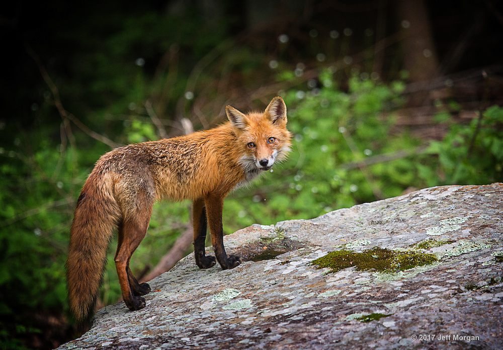A adult female Red Fox has taken a drink from a small pool of water on the boulder.