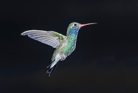 Broad-billed Hummingbird (Cynanthus latirostris) in flight at a feeder, San Juan Cosala, Jalisco, Mexico