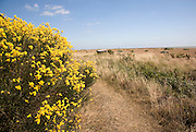 Yellow flowers of broom bush, Shingle Street, Suffolk, England