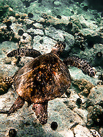 Green sea turtle swims in shallow water off coast of southwestern part of island of Hawaii.  Copyright 2008 Reid McNally.