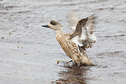 The Patagonian Crested Duck is found in shallow coastal regions throughout the Falklands, where it forages for invertebrates and marine algae.
