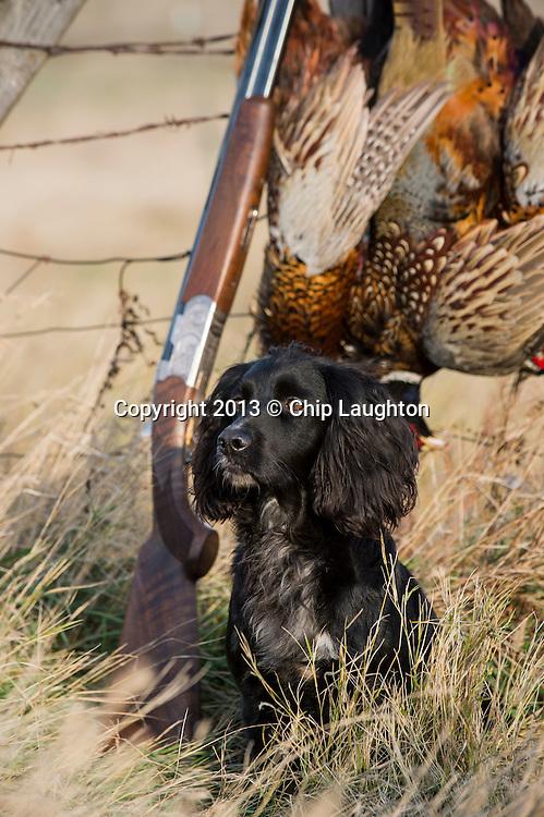english cocker spaniel stock photo image