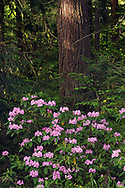 Spring Rhododendron - Mount Hood National Forest