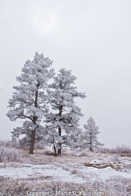 Rime ice covers the Ponderosa Pine trees during a winter storm at Castlewood Canyon State Park, Colorado.