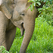 Wild female asian elephant, Elephas maximus, at Kui Buri National Park, Thailand.
