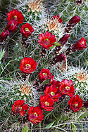 Claret Cup cactus blooms in desert setting near Zion National Park in Utah