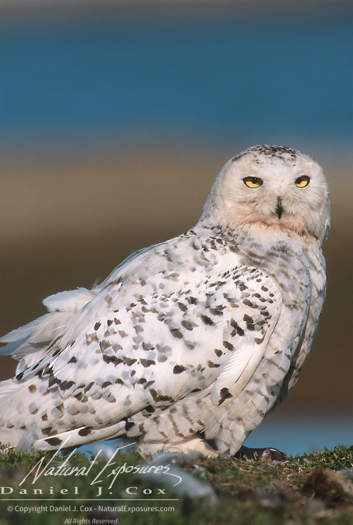 Snowy Owl (Bubo scandiacus) adult near a nest site with chicks. Barrow, Alaska