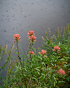 Pink Paintbrush wildflowers against raindrops on a stream.