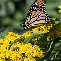 A Monarch Butterfly, Danaus plexippus, feeding on Seaside Goldenrod, Solidago sempervirens, as it migrates down the Atlantic Flyway on its way to Mexico. Lavalette, New Jersey, USA.