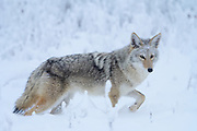 Coyote (Canis latrans), North America
