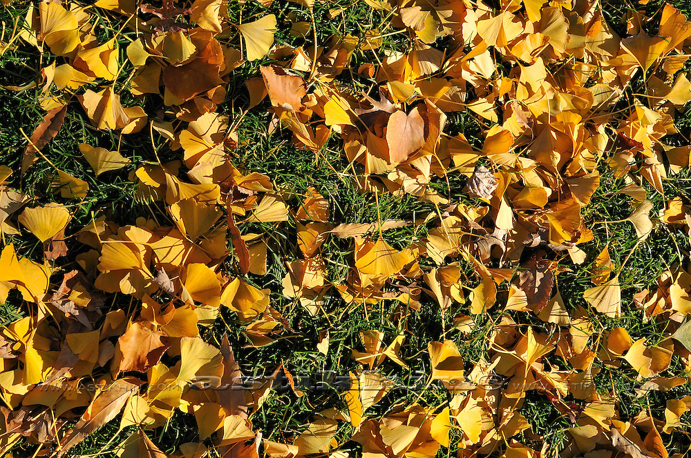 Ginko (Gingko) leaves on green grass.