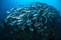 Schooling Yellowfin Surgeonfish..Shot in Indonesia