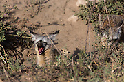 Bat-eared fox at den in Tanzania, Africa