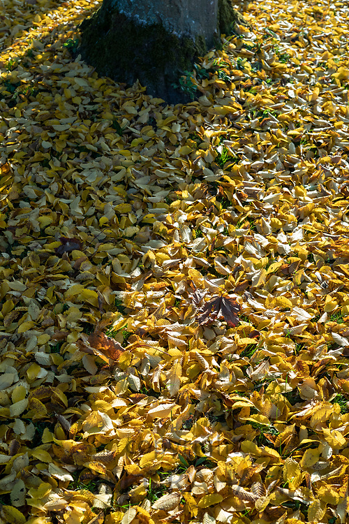 Golden colour of autumn beech tree leaves on forest floor