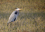 a great blue heron hunting the salt marsh on Jekyll Island