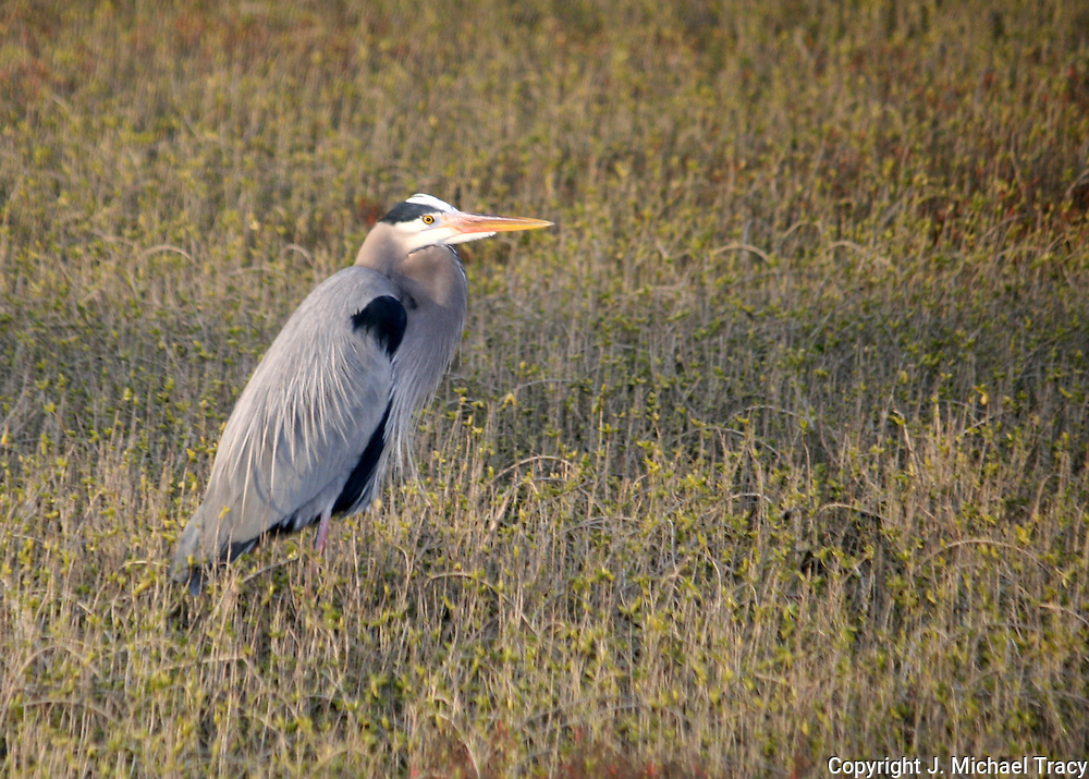 a great blue heron hunting the salt marsh on Jekyll Island