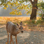 Stare Down Deer Meadow Edge - Yosemite Valley