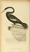 Black Bellied Darter from the 1825 volume (Aves) of 'General Zoology or Systematic Natural History' by British naturalist George Shaw (1751-1813). Shaw wrote the text (in English and Latin). He was a medical doctor, a Fellow of the Royal Society, co-founder of the Linnean Society and a zoologist at the British Museum. Engraved by Mrs. Griffith