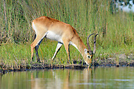 Red lechwe male drinks from a stream in the Okavango Delta, © 2019 David A. Ponton