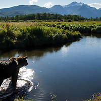USA, Alaska, Katmai National Park, Grizzly Bear (Ursus arctos) walking through salmon stream in coastal meadow near Kukak Bay in late summer