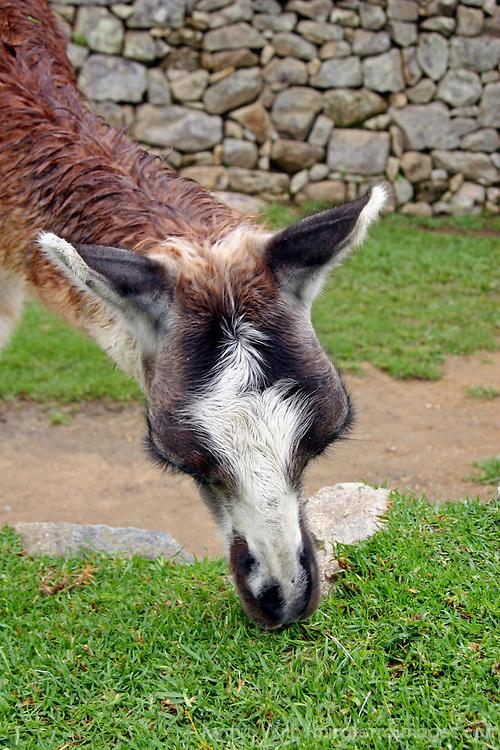 Americas, South America, Peru. Llama at Machu Picchu in Peru.
