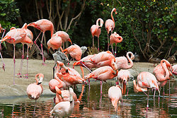 Caribbean flamingos (Phoenicopterus ruber ruber) in water and sand, San Diego Zoo, San Diego, California, United States of America