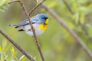 Northern Parula, Setophagaamericana, male, Tuscola County, Michigan