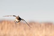 Gadwall, Anas strepera, male, Harsen's Island, Michigan