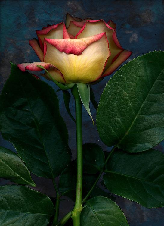 Garden Rose / #VAR241