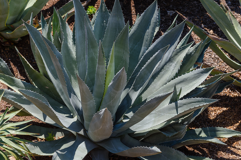 Agave, Hearst Castle is a National and California Historical Landmark mansion located on the Central Coast of California, United States. It was designed by architect Julia Morgan between 1919 and 1947[3] for newspaper magnate William Randolph Hearst
