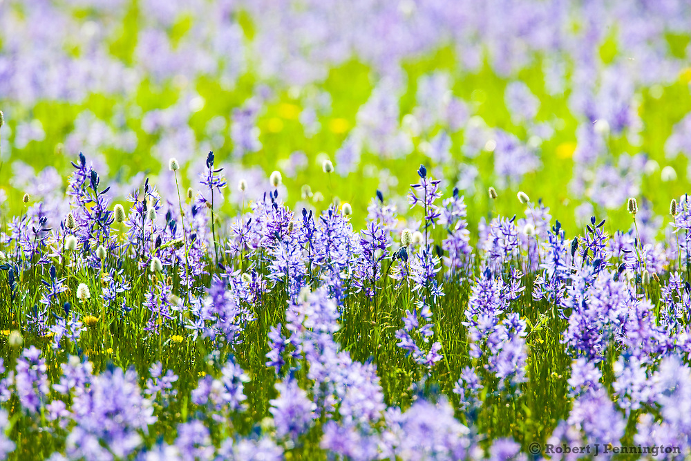 A field of Common Camas wildflowers in full bloom along a meadow in Yellowstone National Park, Wyoming