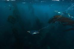 Royal Penguin (Eudyptes schlegeli) underwater near Macquarie Island, Sub-Antactcita, Australia