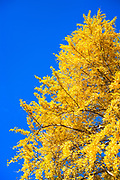 Kumamoto gingko tree