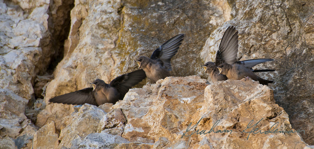 Crag martin fledglings begging for food.