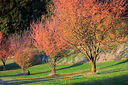 Three trees in fall, Mount Tabor Park.  In 1903, John Charles Olmsted of the Massachusetts-based landscape design firm Olmsted Brothers recommended that a city park be developed at Mount Tabor.  Portland Parks Superintendent Emanuel T. Mische, who had worked at Olmsted Brothers, consulted with Olmsted on the park layout and integration of the reservoirs into the park design.