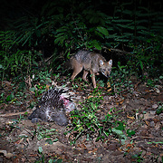 Canis aureus, golden jackal appraoching the carcas of a dead procupine, presumably killed earlier by a wild cat or dhole pack.