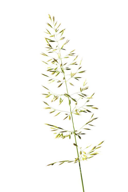 Goldhafer<br /> Trisetum flavescens<br /> Süßgräser<br /> Goldhafer ist ein Süßgras, das eine Höhe bis zu 1 m erreicht. Die Blätter sind weich behaart und etwa 4 mm breit. 2 - 3 Blüten wachsen jeweils in 6 mm langen gelben Ährchen. Die locker ausgebreitete Blütenrispe ähnelt der des Hafers. Blütezeit ist Mai - Juni. Wiesen-Goldhafer, Gemeiner Goldhafer, Gewoehnlicher Goldhafer, Goldhafer, Gold-Hafer  | yellow oat-grass, yellow oats
