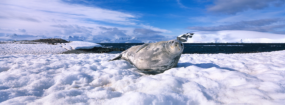 Antarctica, Half Moon Island, Weddell Seal (Leptonychotes weddelli) rests on snow-covered shore with mountains of Livingstone Island in background
