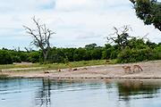 a herd of Impala ( Aepyceros melampus) at Lake Kariba along the Zambezi river, Zimbabwe