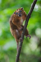 A small Cuscus (Strigocuscus celebensis) easily walks straight down a  tree trunk toward the ground, Sulawesi, Indonesia