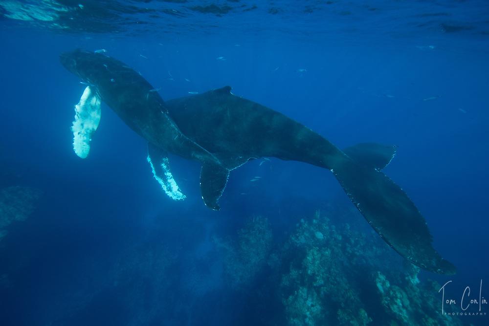 humpback whale ~ Megaptera novaeangliae ~ mother & calf ~ Silver Bank, Dominican Republic ~ www.aquaticadventures.com