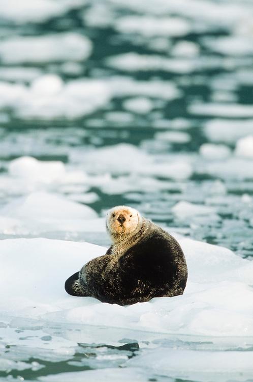 Alaska. Harriman Fiord in Prince William Sound, near Surprise Glacier. Sea otters resting on icebergs.