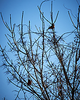 Three Robins in a tree. Image taken with a Nikon D4 camera and 80-400 mm VR lens (ISO 200, 400 mm, f/6.3, 1/2000 sec)