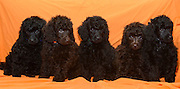 Five black miniature poodle puppies facing camera on orange background