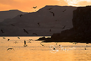 A person on a stand up paddle board paddles through a large flock of Brown pelicans flying off the coast of Isla San Francisco, Baja California, Mexico.