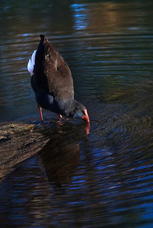 A water fowl quenches its thirst at Margaret River.
